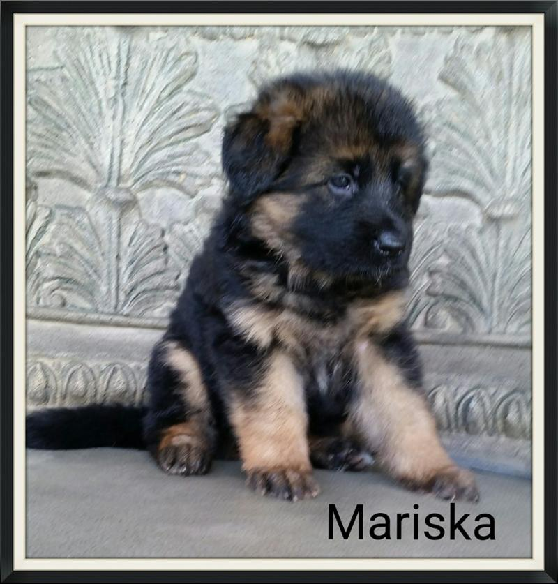 German Shepherd Breeders Pups Nebraska North Carolina South Carolina Chicago Tx