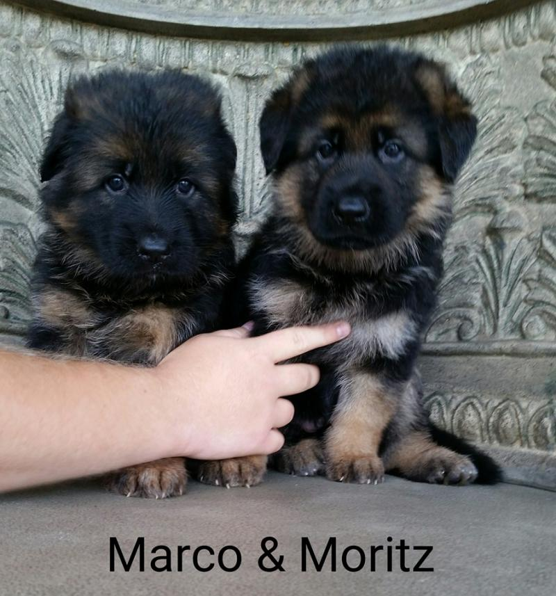German Shepherd Breeders Pups Odessa Austin Katy Houston Temple Dallas Texas