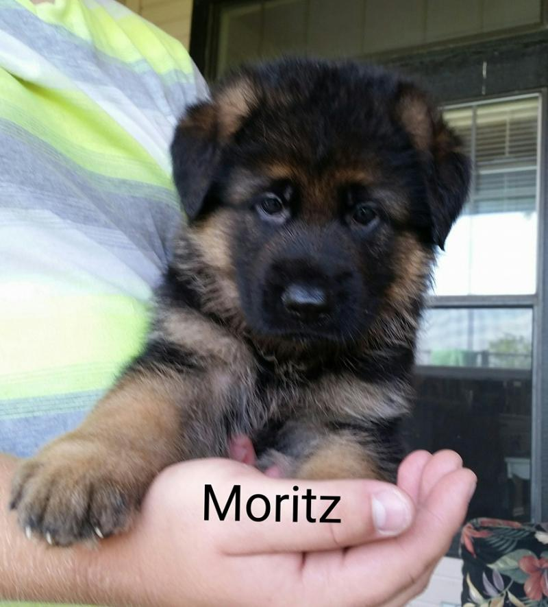 German Shepherd Breeders Illinois Chicago Wonder Lake Wisconsin Indiana Ohio Tx