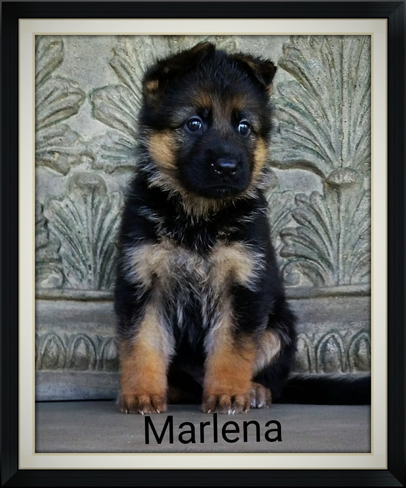 Elite German Shepherd Pups For Sale New York New Jersey Virginia Washington Tx