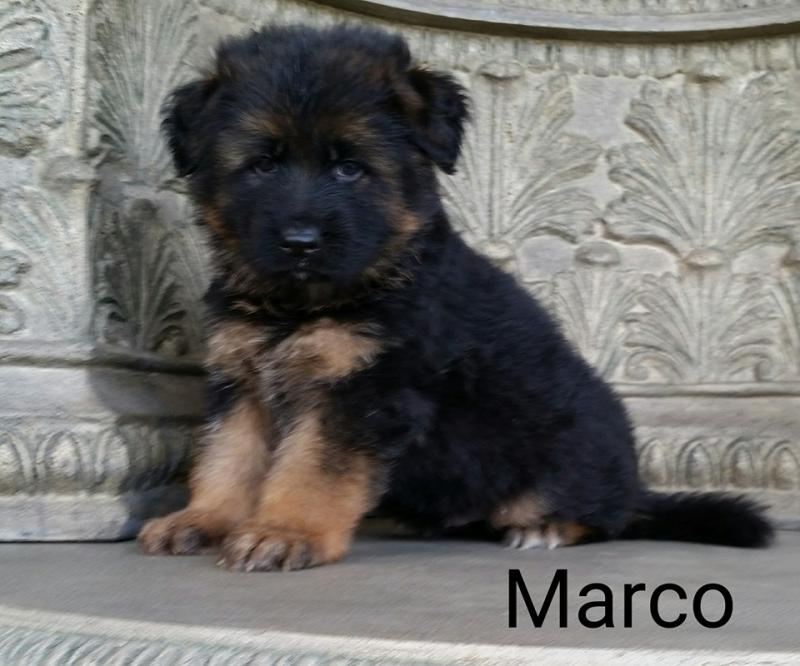 Texas German Shepherd Breeders San Marcos Abilene Midland Dallas Houston Waco