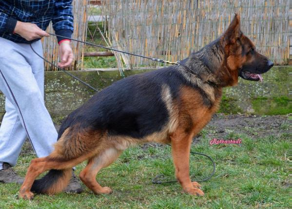 Imported German Shepherd at Stud Gardi vom Team Panoniansee
