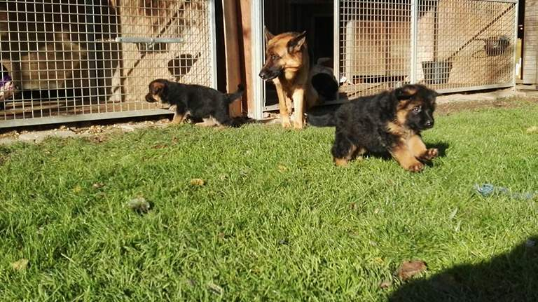 German Shepherd Kennels Woodlands New Braunfels Cedar Park Katy Corpus Christi