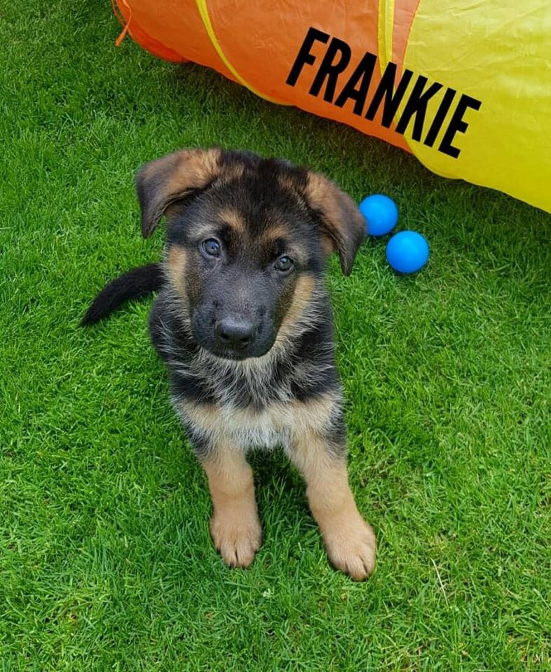 ELITE GERMAN SHEPHERDS YOUNG DOGS FOR SALE NFL SPORTS CELEBRITIES