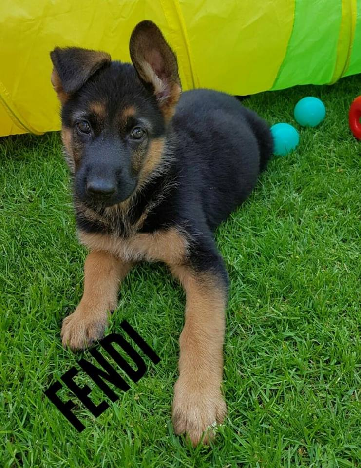 German Shepherd breeders Abilene Amarillo Lubbock Dallas Houston Austin Katy Tx
