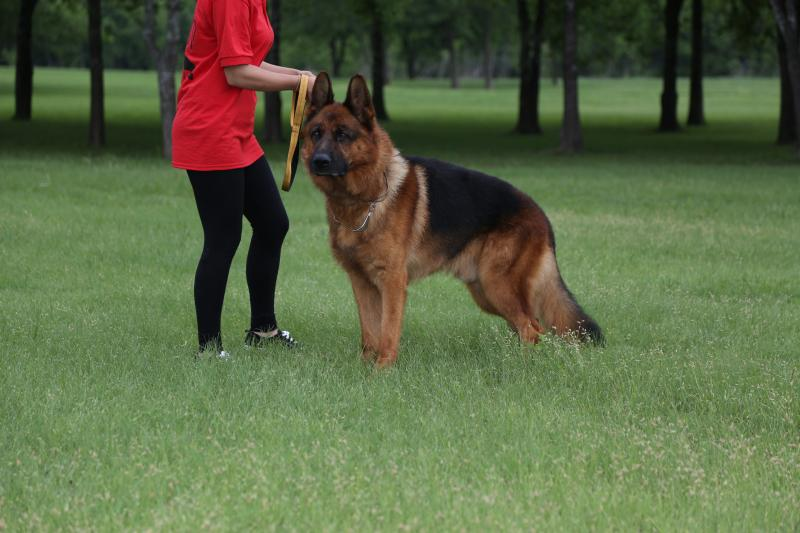 VA1-Chicco vom Dogshof   at Elite German Shepherds in Texas