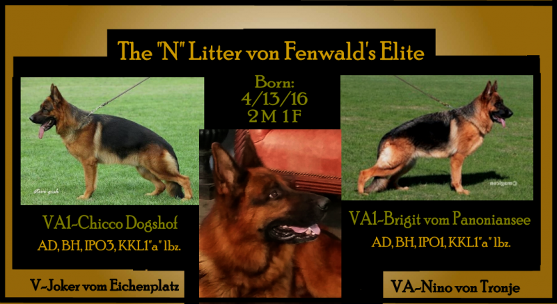 VA1-Chicco Dogshof Pups by VA1-Brigit vom Panoniansee German Shepherds Texa