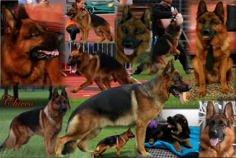 Texas German Shepherd Breeders Austin New Braunfels Corpus Christi San Antonio