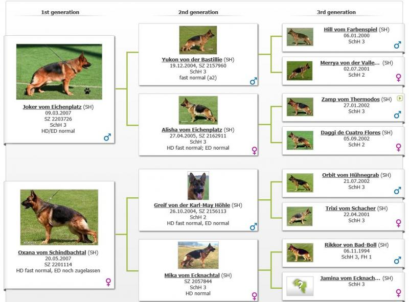 VA1-Chicco Dogshof Pedigree Standing at Stud at Elite German Shepherds Texas