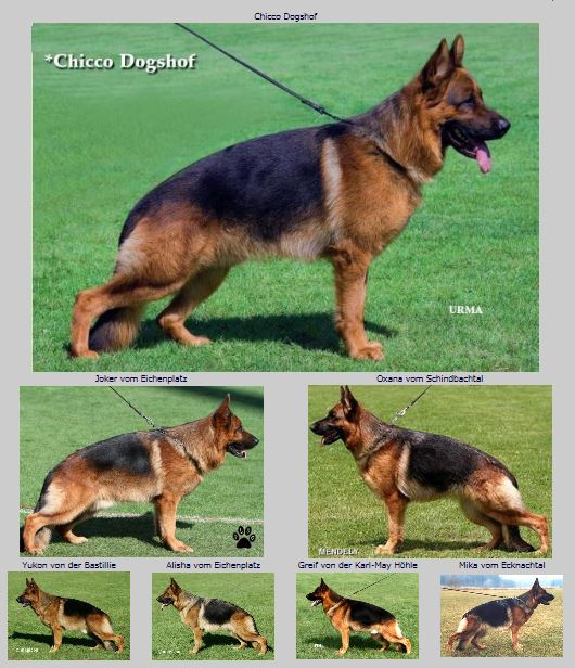 VA1-Chicco vom Dogshof  Family tree photos Elite German Shepherds in Texas