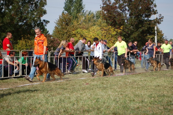 VA1-Chicco vom Dogshof   Elite German Shepherds in Texas
