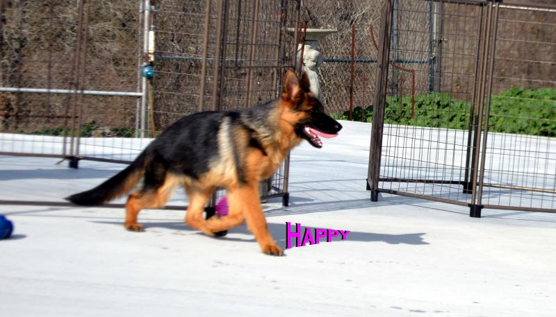 German Imported Top Show Prospect Female German Shepherd Pup For Sale