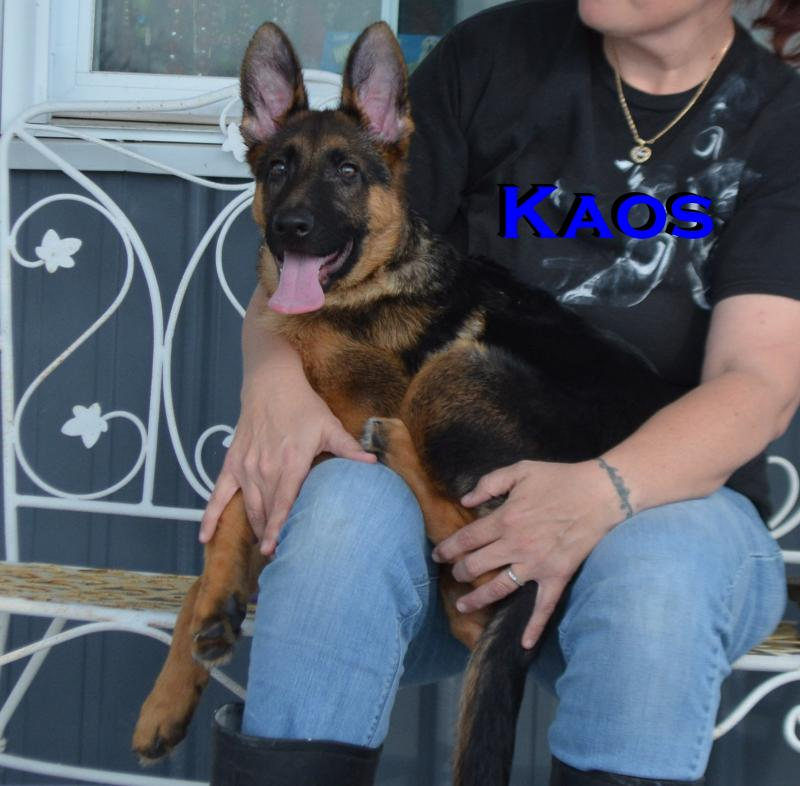 German Shepherd Pups For Sale Austin Houston Dallas San Antonio Texas