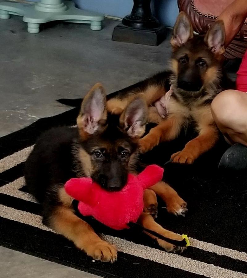 German Shepherds Imported AUSTIN KATY CEDAR PARK SAN ANTONIO CORPUS CHRISTI WACO