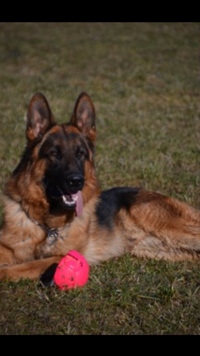 Elite German Shepherds Stud Dog Franco vom Gletschertopf Pedigree Datebase