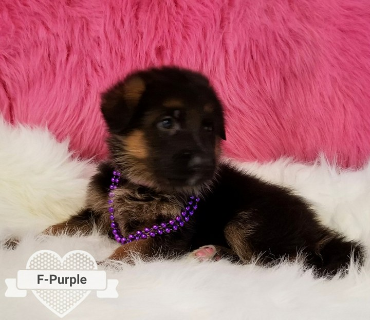 German Shepherd Pups for sale Austin Killeen Pfleugerville San Antonio Hutto Tx