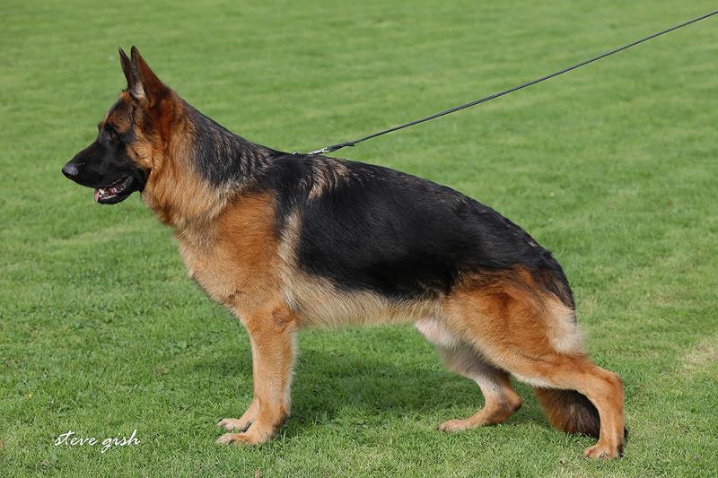 Pedigree Database West German Showline Young adult German Shepherds
