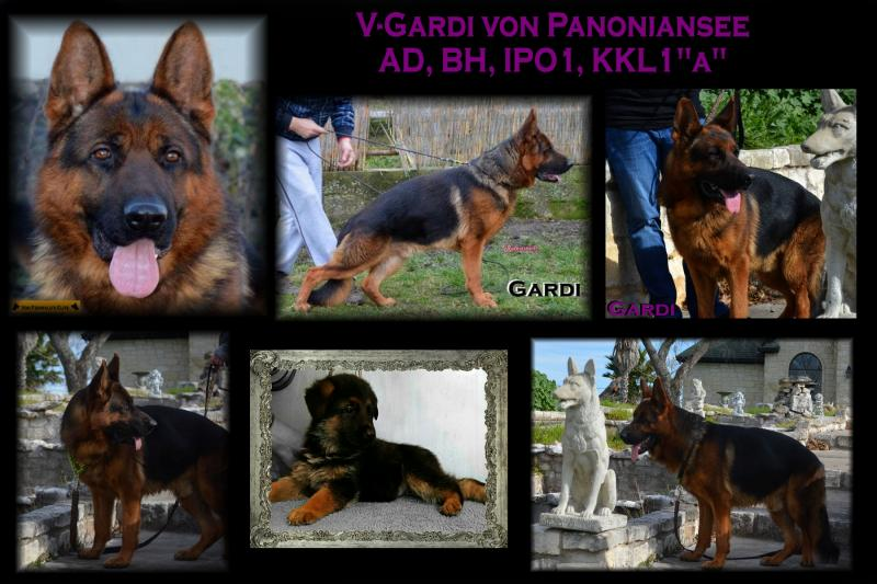 German Shepherd Stud Dog V-Gardi von Team Panoniansee in Austin Texas