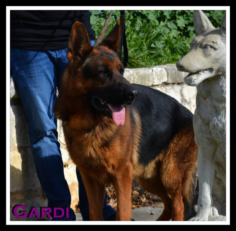 Gardi vom Team Panoniansee at Elite German Shepherds Austin Texas
