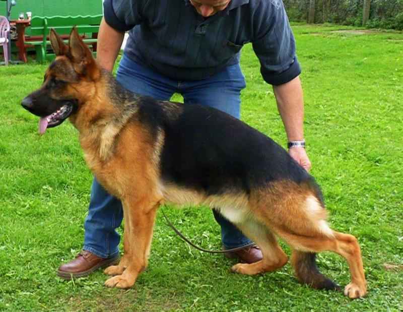 Imported Male Young Adult German Shepherd For Sale Austin Houston Dallas Texas