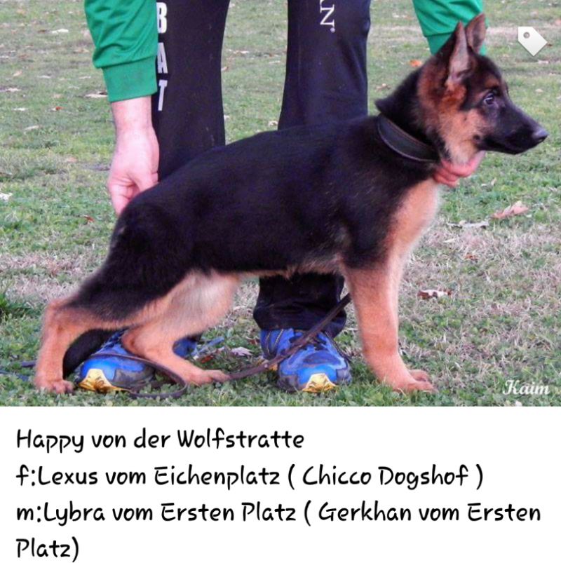 Lexus vom Eichenplatz Imported female German Shepherd Pup in Austin Texas