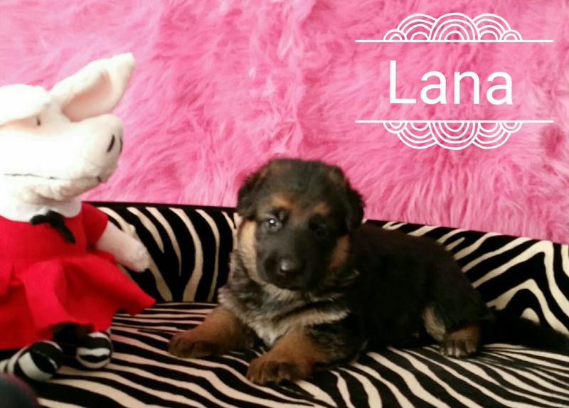 German Shepherd Puppies for Sale San Antonio Texas Ft. Worth Austin Waco Dallas