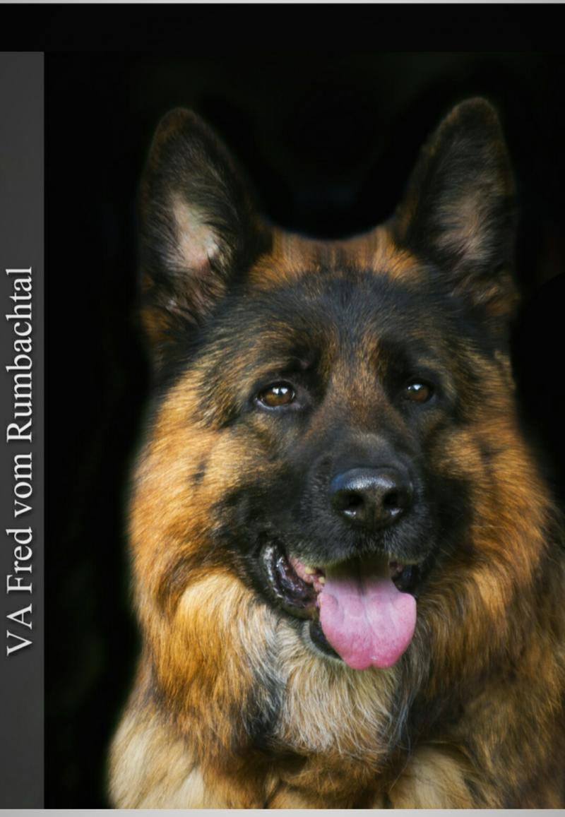 VA-Fred vom Rumbachtal head shot Imported German Shepherd Pups For Sale