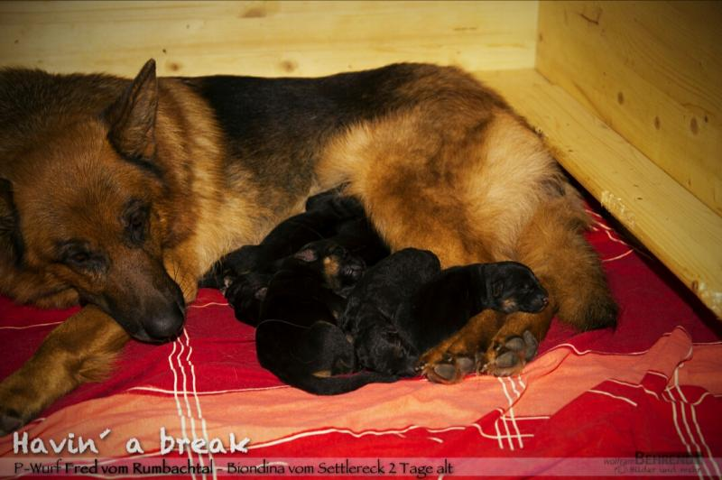 Imported VA-Fred vom Rumbachtal German Shepherd pups For Sale