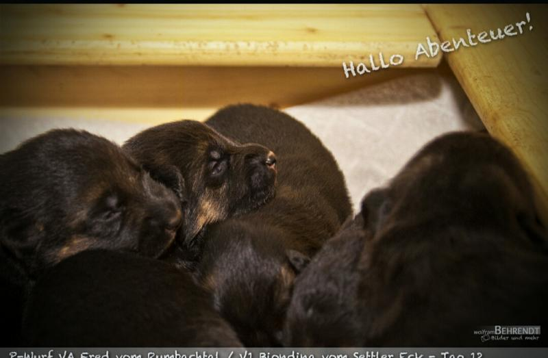 Pedigree Database VA-Fred vom Rumbachtal German Shepherd Pups Texas Austin