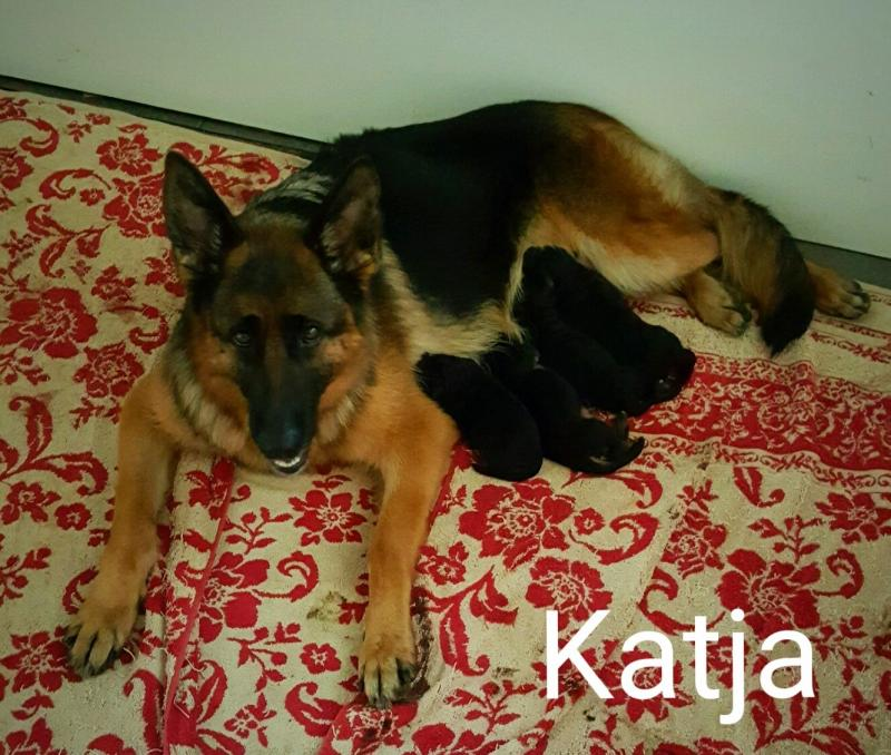 Elite German Shepherd Pups Breeders Abilene Lubbock Ft. Worth Ft. Hood Texas