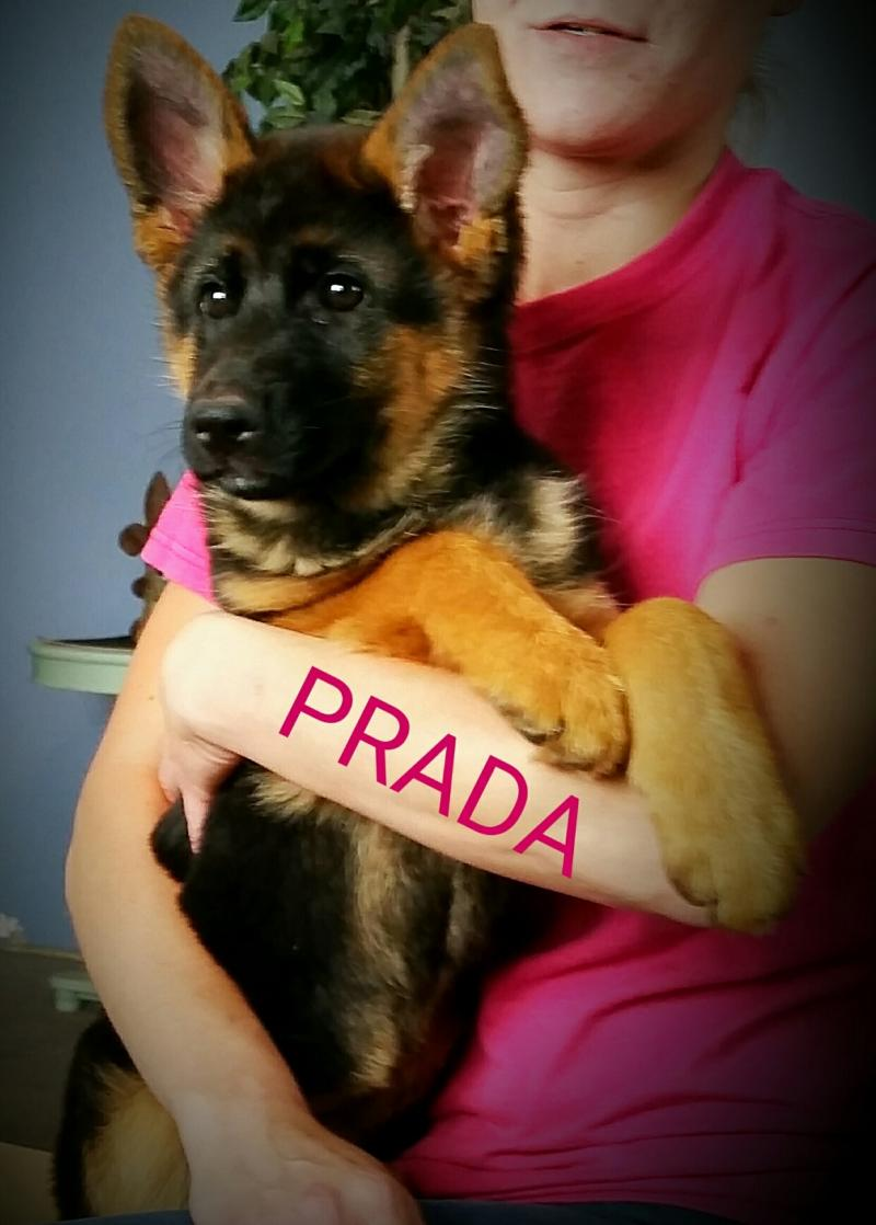 German Shepherd Breeders Connecticut Michigan Ohio Utah Wonder Lake Texas