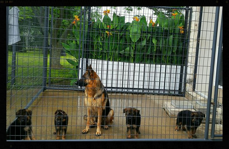 German Shepherd Pups Fpr Sale Georgetown Woodlands Katy Killeen Abilene Texas