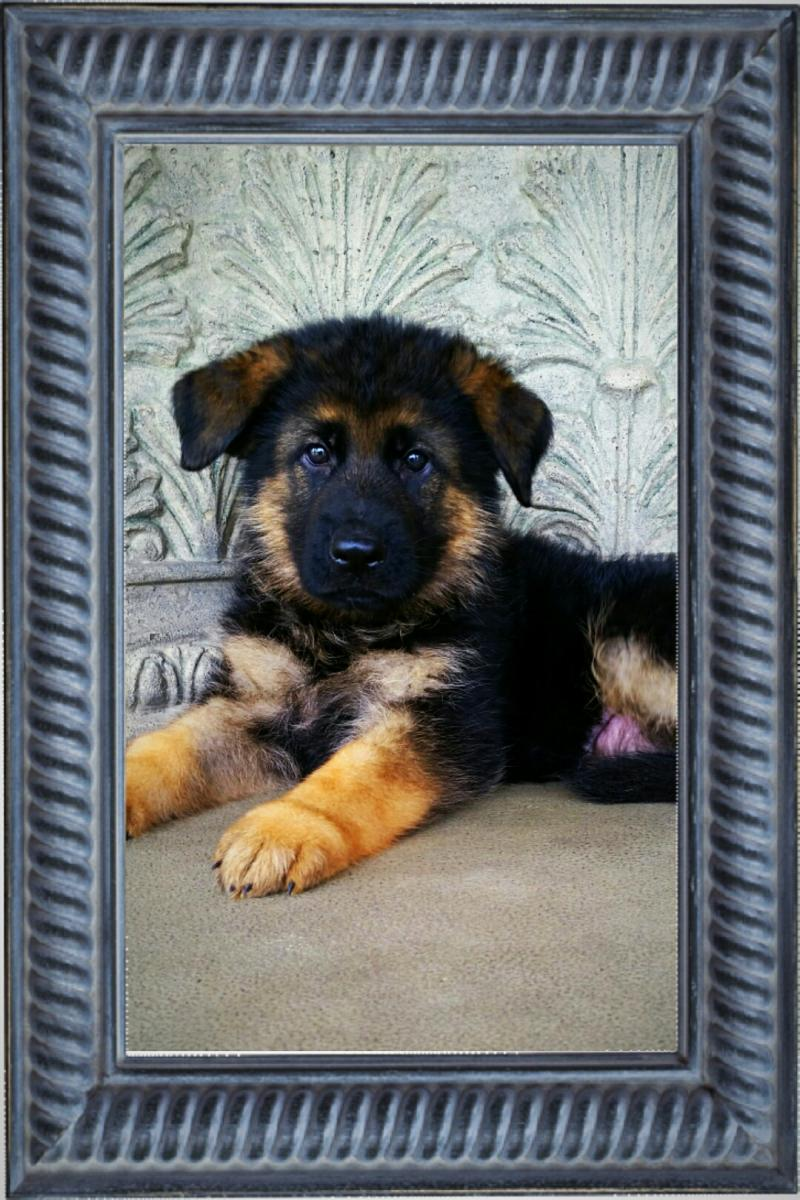 AKC Schutzhund German Shepherds Pups for sale Austin Houston Dallas Texas
