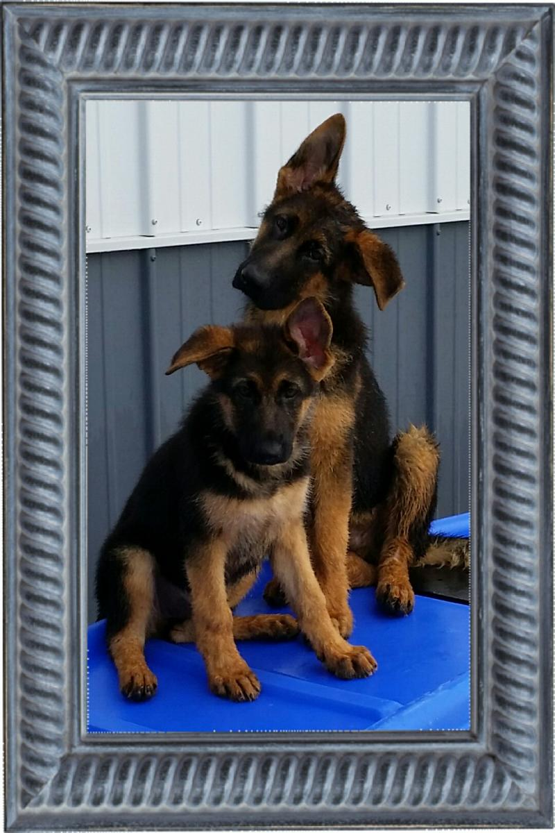 Texas German Shepherd Breeders AKC SV World Class Elite Pups Direct from Germany