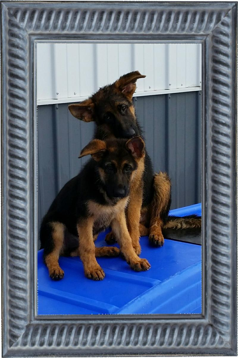 German Shepherd Breeders San Antonio Texas Dallas Houston Waco Austin