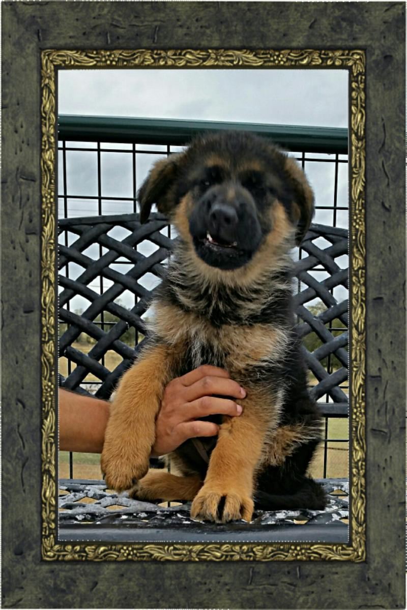 West German Shepherd Pups for Christmas Austin San Marcos San Antonio Houston Tx