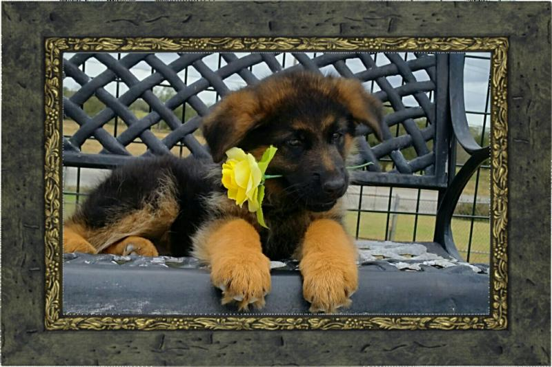 German Shepherd Pups for Christmas Austin Killeen Houston Dallas Oklahoma Texas