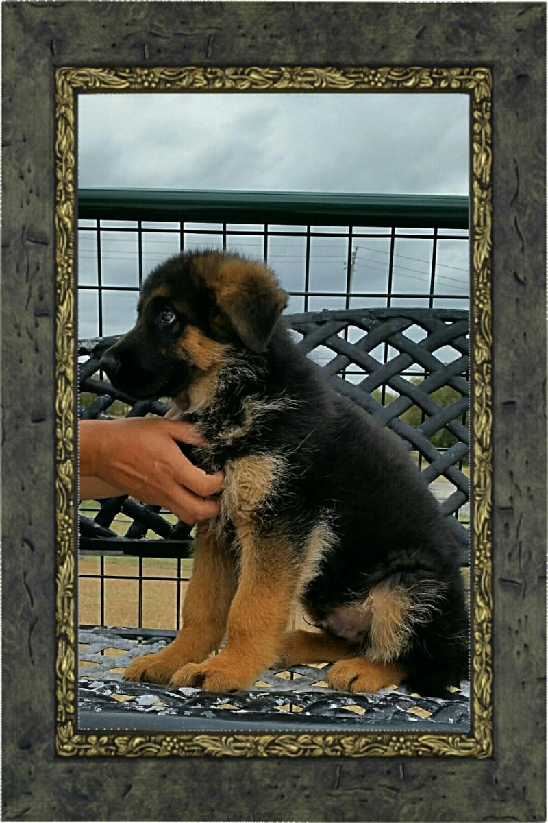 Texas German Shepherd Breeders Dallas Waco El Paso Abilene Corpus Christi Austin