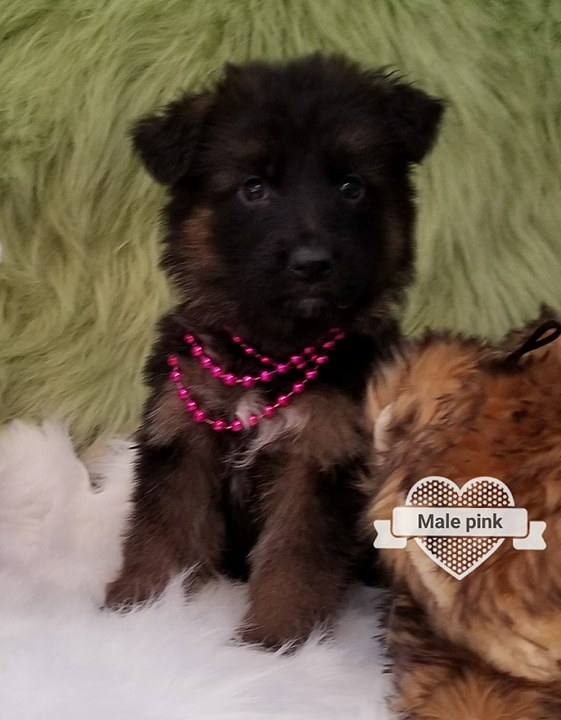 Longcoat German Shepherd Pups from Germany in USA Austin Houston Dallas Texas