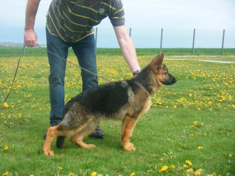 Mars vom Herzbach German Shepherd son Ajax at 4 months