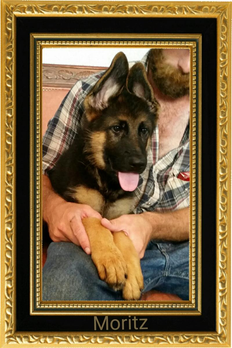 Texas German Shepherd Puppies For Sale Austin Houston Midland Ft. Worth Dallas