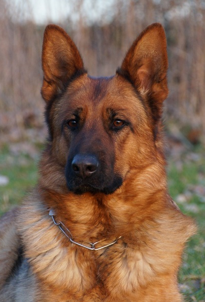"Elite German Shepherds ""Omera vom Quartier Latin"""