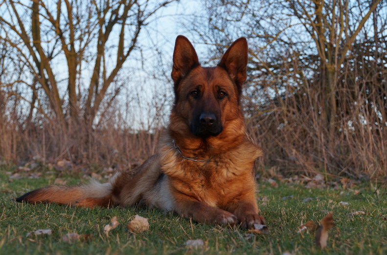 Von Fenwald's Elite German Shepherds - Home