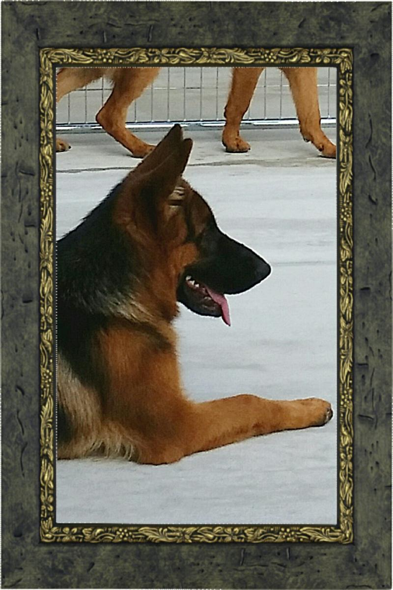 Von Fenwald's Elite German Shepherds Austin San Marcos Corpus Christi Houston TX