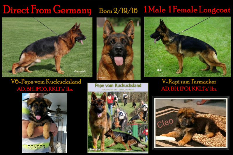 German Shepherd Breeders Texas San Antonio Austin Dallas Houston Corpus Christi