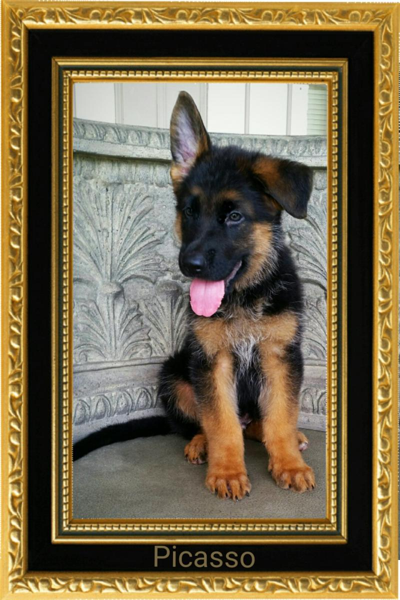 Elite German Shepherd Breeder of Imported West German Showlines Texas & Illinois