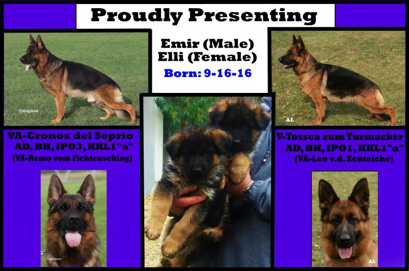 German Shepherd Breeders A.K.C. Pink Papered West German Imported Texas Colorado