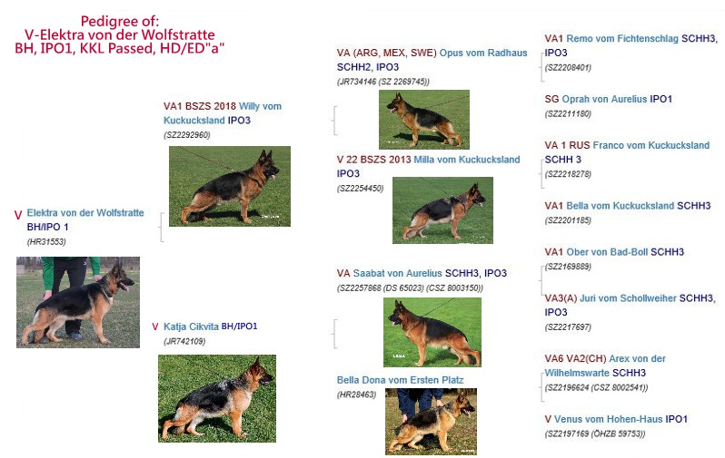 German Shepherd Longcoats Austin Houston Dallas Katy San Antonio Corpus Texas US
