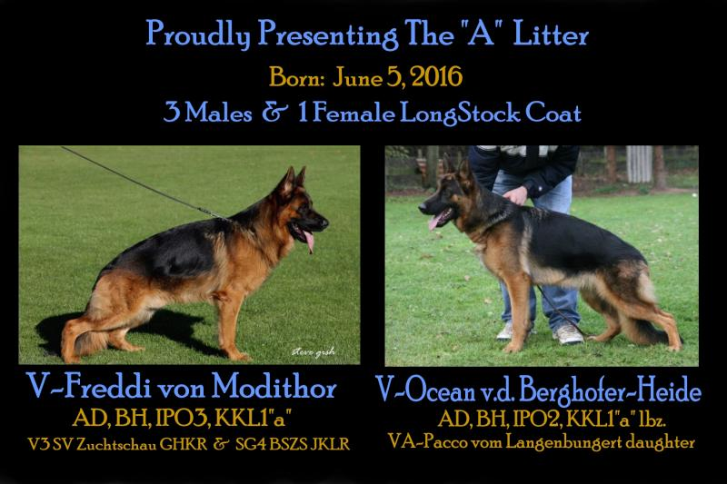 Imported German Shepherd Showline Pups Direct to any state in USA