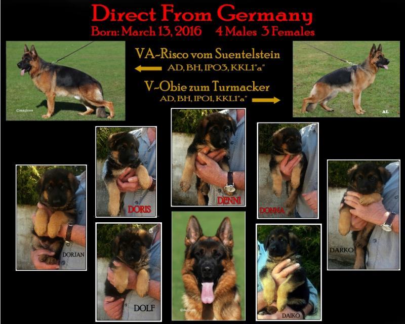 Texas German Shepherd breeders Pups Austin Katy Dallas Houston San Antonio Waco